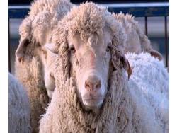 mouton_grande