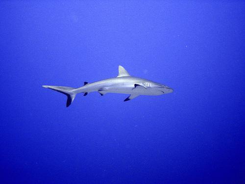 requin_grande