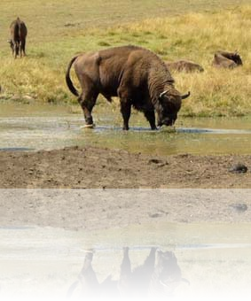 bison_grande