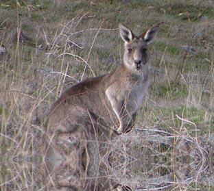 kangourou_grande