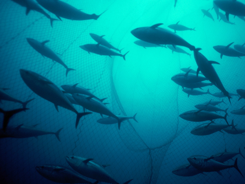 School of Bluefin Tuna in Mattanza