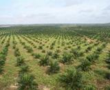 Huile de palme : GreenPalm, le nouveau label qui cache la forêt ?