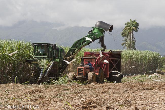La récolte de la canne à sucre à la distillerie Longueteau