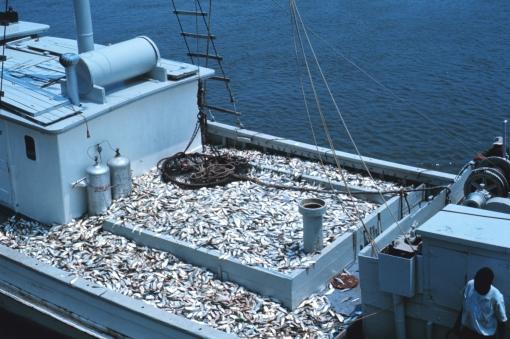 L'Atlantique Nord a été pillé par la pêche intensive