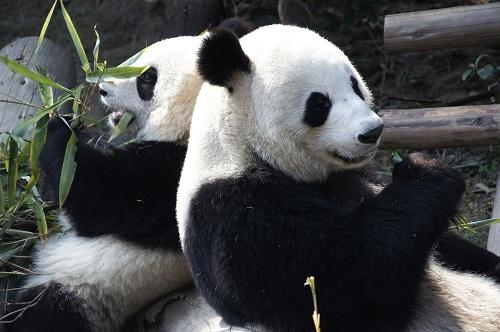 Deux pandas débarquent au zoo de Beauval