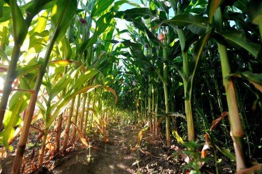L'UE appelée à se prononcer sur la consommation d'un maïs OGM en pleine polémique
